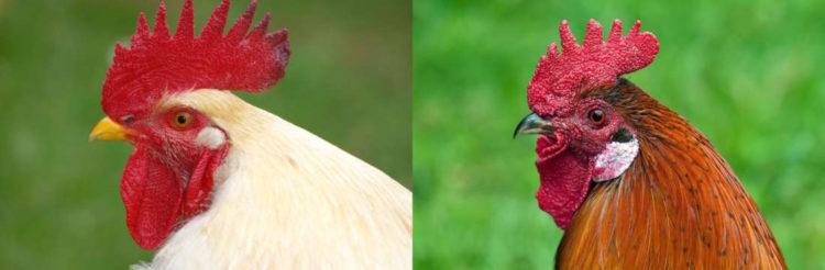 白い鶏と茶色い鶏